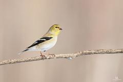 American goldfinch - Chardonneret jaune - Spinus tristis (Maxime Legare-Vezina) Tags: bird oiseau nature wildlife animal canon