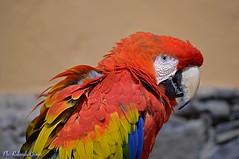Pappagallo _003 (Rolando CRINITI) Tags: pappagallo uccelli uccello birds ornitologia palmitospark grancanaria cattività