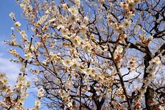 Plum blossom (kazuo0801) Tags: plum blossom white beautiful park