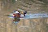 Pato mandarín (Aix galericulata) Pato mandarín. (Felipe Ogando) Tags: aixgalericulata patomandarín aves naturaleza felipeogando morfeofilms