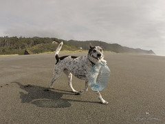 beach cleaning (Claudia Künkel) Tags: oregon blanca dog bordercolliemix beach garbage plastic bottle