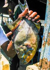 strange ugly fish (Charlene Collins.still charlene) Tags: oldharbour fishingvillage