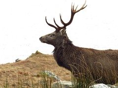 8640 A red deer stag beside Loch Quoich reservoir (Andy - Busyyyyyyyyy) Tags: 20170319 aaa antlers ddd deer glenquoich reddeer rrr scotland sss stag