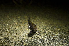 Spotted Salamander Migration - Labrador Hollow (Matt Champlin) Tags: bwnc baltimorewoodsnaturecenter baltimorewoods salamanders spotted spottedsalamanders migration rain spring springtime labradorhollow lab hollow dec ny canon 2017 wood woodland woodfrog care people group life