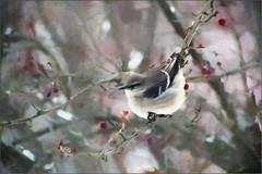 Painted Dee (cindyz48) Tags: bird chickadee effects paint berries winter snow