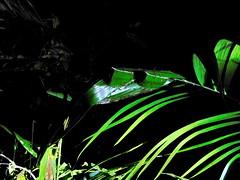 Bako National Park (Lalallallala) Tags: bako nationalpark bakonationalpark sarawak borneo malaysia southeastasia wildlife nightsafari weaverant