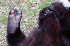 2589 (The Giant Animals) Tags: giant crush squish trampled sole paw paws huge flattened man guy toe pad fur