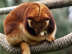 Tree Kangaroo and in Its Natural Babitat (publicdomainphotography) Tags: animal branch brown dendrolagus forest golden goodfellow goodfellowi green kangaroo log mammal natural nature one ornate park plant tree treekangaroo wild wildness wood