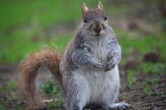 Eastern Gray Squirrel (Phil Spell) Tags: outdoor canon nature animal squirrel wildlife mammal easterngraysquirrel usa washingtondc nationalmall northamerica sciuruscarolinensis