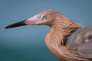 Reddish Egret, Pinellas County, FL [Explore 18 April 2017]