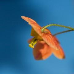 Orange Queen (Gisou68Fr) Tags: macromondays orangeandblue fleur flower orange bleu blue blau bokeh hmm epimedium epimediumwarleyense orangekönigin orangequeen canoneos650d efs60mmf28macrousm