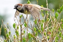 House Sparrow in Flight (Anne Ahearne) Tags: housesparrow sparrow bird birds nature wildlife animal