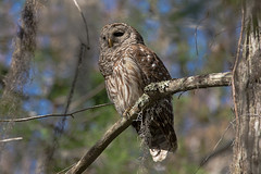 Last In This Owl Seris (J Baker Photography) Tags: florida swamp wisebird softlight barred owl elusive silent flight solitary