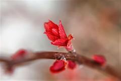 New leaves of burning bush (elenashen5) Tags: leaf red nush burning macro