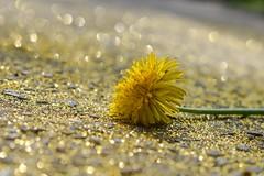 "Gold - ""Smile on Saturday - season's beauty"" (fdlscrmn) Tags: smileonsaturday seasonsbeauty dandelion bokeh nature gold yellow seasons beauty"