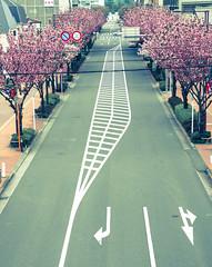 Main Street in my town (sapphire_rouge) Tags: sakura 東京 ngc cherry pink 桜 cherryblossom 春 japan tokyo