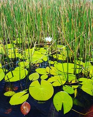 Water Green Color Nature Growth No People Outdoors Beauty In Nature Grass Close-up Day Single Flower Flower Lily Pad Lily Lily Flower Lily Pond Lilyum Lily Flowers Lilypad Lilypads (blackaviator2000) Tags: water greencolor nature growth nopeople outdoors beautyinnature grass closeup day singleflower flower lilypad lily lilyflower lilypond lilyum lilyflowers lilypads