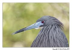 The Dude (wesjr50) Tags: birds wadingbirds tricolorheron flash betterbeamer dxoopticspro photoshopcc staugustinealligatorfarm rookery canonef100400mmf4556iszoom canon 7d mk ii