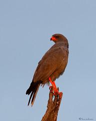 Juvenile Chanting Goshawk (leendert3) Tags: juvenilechantinggoshawk leonmolenaar krugernationalpark nature wildlife bird birdofpray ngc npc