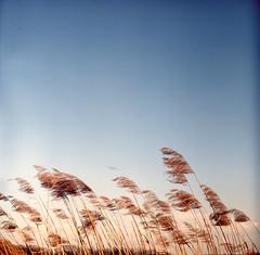 Reed (Moryc Welt) Tags: reed tetenalsp45 iscanforlinux gimp agfarsxii expired asa100 grass nature sky slides transparency diy homemadesoup pentaconsix biometar80 tychy paprocany silesia poland epsonv600 europe