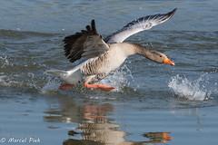 Biesbosch - Goose take-off (CapMarcel) Tags: biesbosch goose geese duck canadian nikon d500 500mm