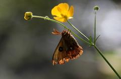 Appesa (lincerosso) Tags: farfalle butterflies ranuncolo ranunculusauricomus budoia primavera sottobosco mimetismo bellezza armonia