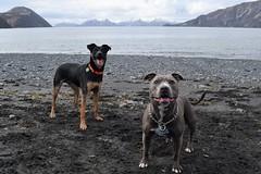 DSC_0510 (jaykaydub_) Tags: dogs puppies pasagshak kodiak alaska alaskandogs beach beachdays pitbull mutt bluenose terrier fetch impatient publicland publiclandpursuit public land dogdays