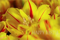 Happy Easter.......... (atsjebosma) Tags: tulips tulpen flowers bloemen macro easter pasen bloemenmarkt groningen atsjebosma april 2017 yellow geel ngc npc