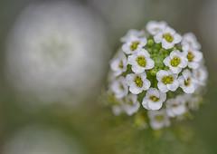 soothing green (Nikondxfx (instagram)) Tags: delhi macro nikon flower tamron90mm macrophotography flowerphotography fullframe nikond750 park