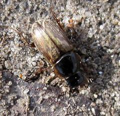 Афодій-посланець (Aphodius cf. prodromus) (Gansucha) Tags: coleoptera scarabaeidae aphodius