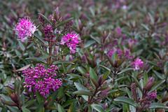 Hebe hybrida 'Raspberry Ripple' (MGormanPhotography) Tags: hebe hybrida raspberryripple scrophulariaceae evergreen shrub raspberry pink rose magenta bloom flower green foliage patent