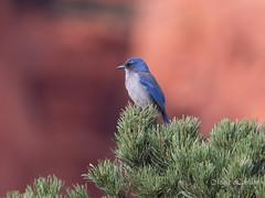 Mountain Bluebird (Maja's Photography) Tags: birds bird animals amazing nature canon wildlife wilderness wild wings feathers forest fantasticnature blue pine tree green rocks