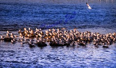 A Meeting Of The Birds (a2roland) Tags: normanzeba2rolandyahoocoma2roland norm seagulls sea birds meeting easton pa pennsylvania natural landscape water waves blue sunny day ocean orange fly flying congregation flock together phillipsburg nj new jersey zoom nikon camera lens photograph picture pics photography feather sitting relaxing stopover stop flight sun basking