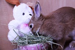 Ichigo san 667 (Ichigo Miyama) Tags: いちごさん。うさぎ ichigo san rabbit bunny netherland dwarf brown ネザーランドドワーフ ペット いちご うさぎ