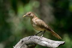 Clay-colored Thrush (Melis J) Tags: bird claycoloredthrush costarica