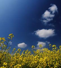 Smoke signals (Robyn Hooz (away)) Tags: colza ripeseed nuvole clouds cielo blu yellow giallo campo field padova wideangle polarizer