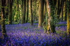 Pendarves Wood Bluebells (explored 22/04/17) (Dom Haughton) Tags: bluebells sunset pendarves canoneos70d cornwall coast woods evening spring outdoor nature colour