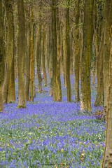 A R O M A (frattonparker) Tags: nikond810 tamron28300mm raw lightroom6 woodland beech bluebells sussex frattonparker btonner