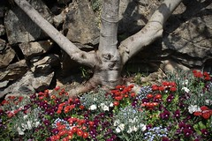 au pied du figuier (bulbocode909) Tags: valais suisse fleurs printemps troncs figuiers nature murs rouge vert