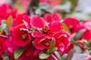 IMG_0351 (vargabandi) Tags: chaenomeles vargabandi garden red blossom
