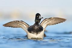 Lesser Scaup (Danielirons02) Tags: nikon nikon300mmf4 nikontc14 nikond610 fullframe water duck lesserscaup dorchestermd bird birding photography