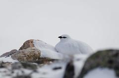 Ptarmigan in extreme conditions (Nippe16) Tags: bird snow wildlife highkey bright light winter finland animal birding photography telephoto