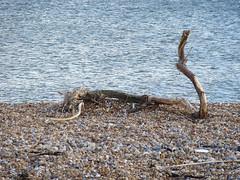 Driftwood Cobra (Hastings Walker) Tags: sea beach shingle driftwood snake serpentine