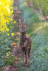 """""""You lookin' at me""""? (skeletonman50) Tags: wildlife roedeer deer"""