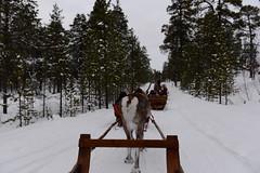 DAV_0466 Trineo de reno (David Barrio López) Tags: arbol tree pino siida sajos sami circulopolarartico arcticcircle holidayvillageinarihotel lomakyläinari reno reindeer poro nieve snow aurora boreal auroraboreal northernlights auroraborealis polarlights inari ivalo laponia lapland finlandia finland nikon d610 nikond610 fullframe nikkor2470mm 2470mm afsnikkor2470mmf28ged davidbarriolópez davidbarrio