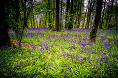 Bluebell Wood (Graham'M) Tags: flowers bluebells wood carpet nature flora woodland trees