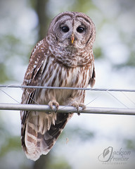 RSF9852c (jacksonfrontierphotography) Tags: barred owl