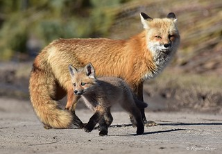 Female red fox and Fox cub