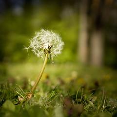 Dandelion Seeds. (Sylvie.) Tags: weeds flower dandelion seeds sony sonyilce6000 sylviepeeters sel24f18z sonnar2418za 24mm vrijbroekpark mechelen begium mindful walking green grass tree