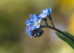 welcoming the sun (Emma Varley) Tags: forgetmenot spring flower sussex uk white tiny small blue yellow